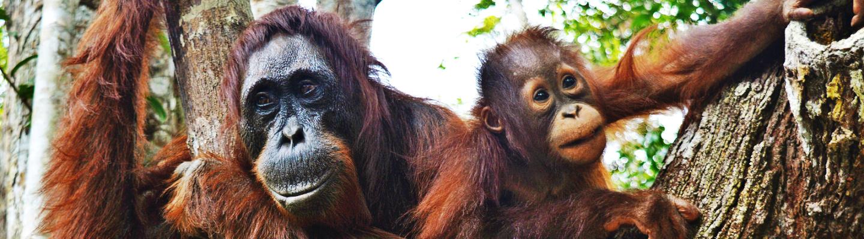 Meeting Wild Orangutans in Borneo