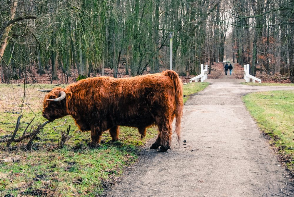 Highland cattle at the Amsterdamse Bos