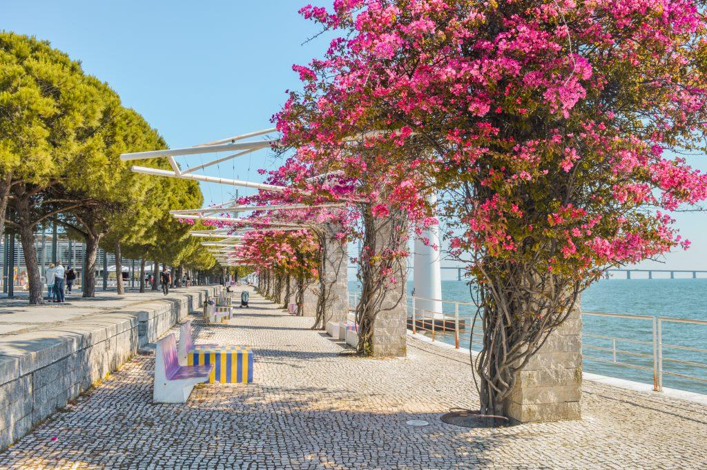 Pink flowering trees in Parque das Nações, Lisbon.