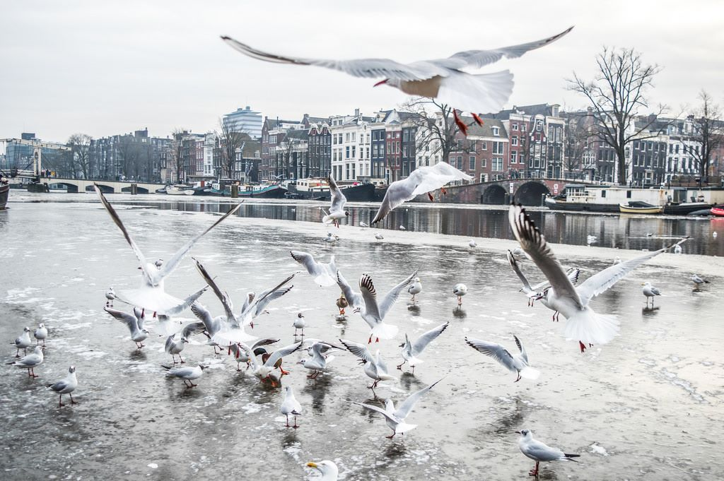 Seagulls fly and stand on top of the ice sheets on the canals