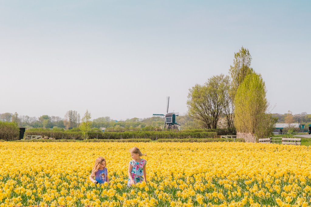 Yellow flower field in Holland