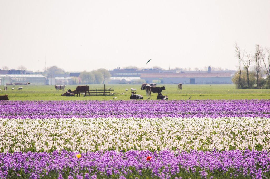 Purple and white flower fields in Holland
