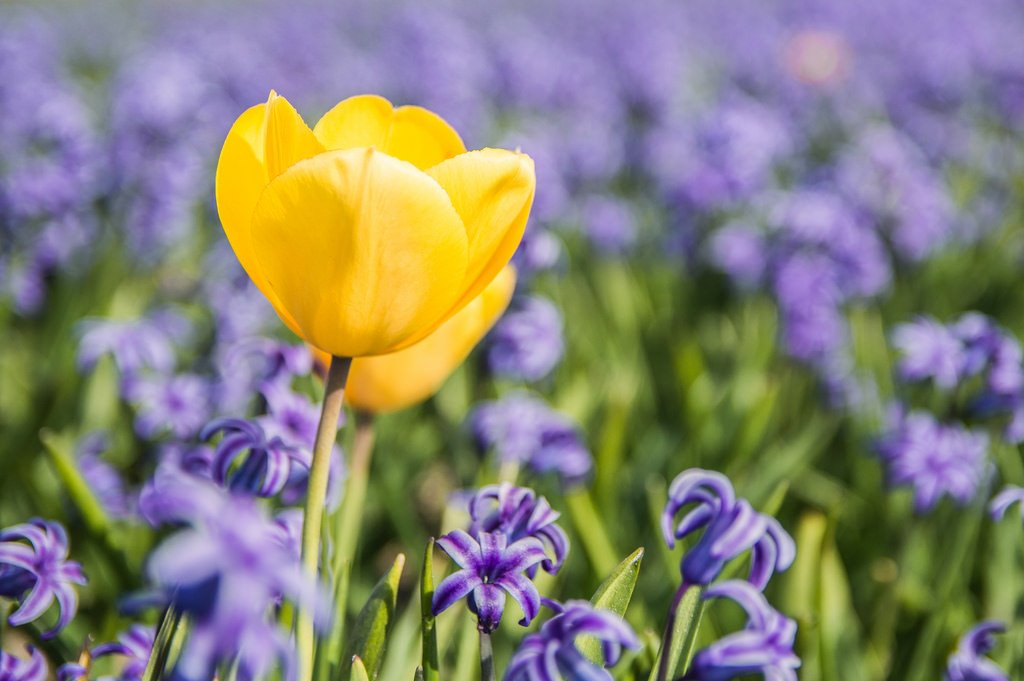 A single yellow tulip in a purple flower fields.