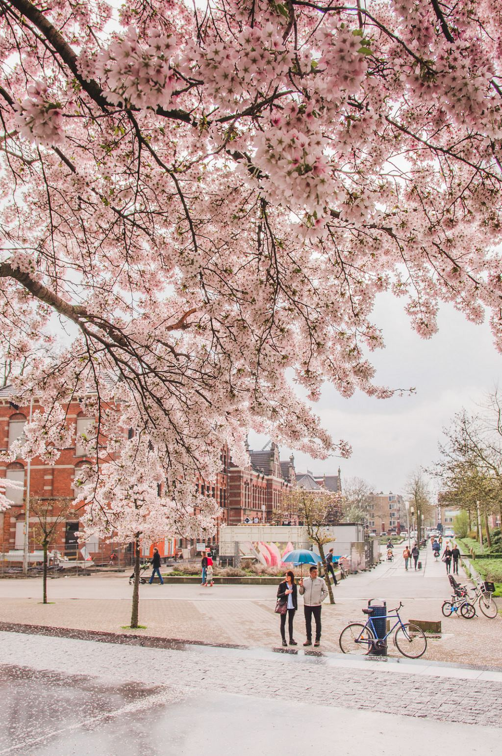 Cherry blossoms at the Westerpark in Amsterdam