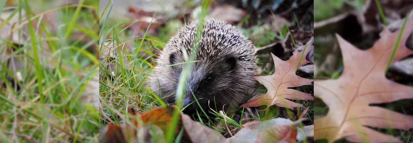 Creatures of the Night: 5 Facts about Hedgehogs