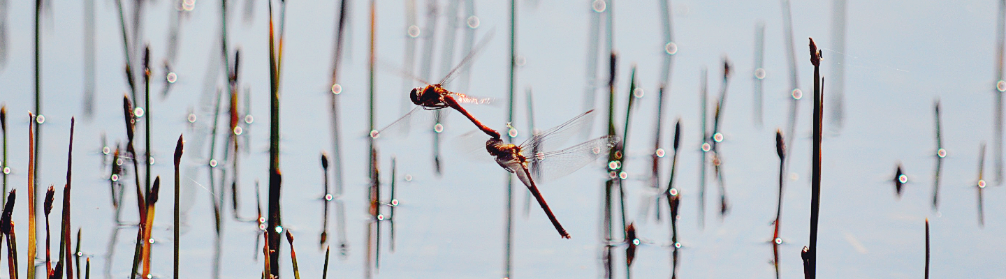 Dance of the Dragonflies