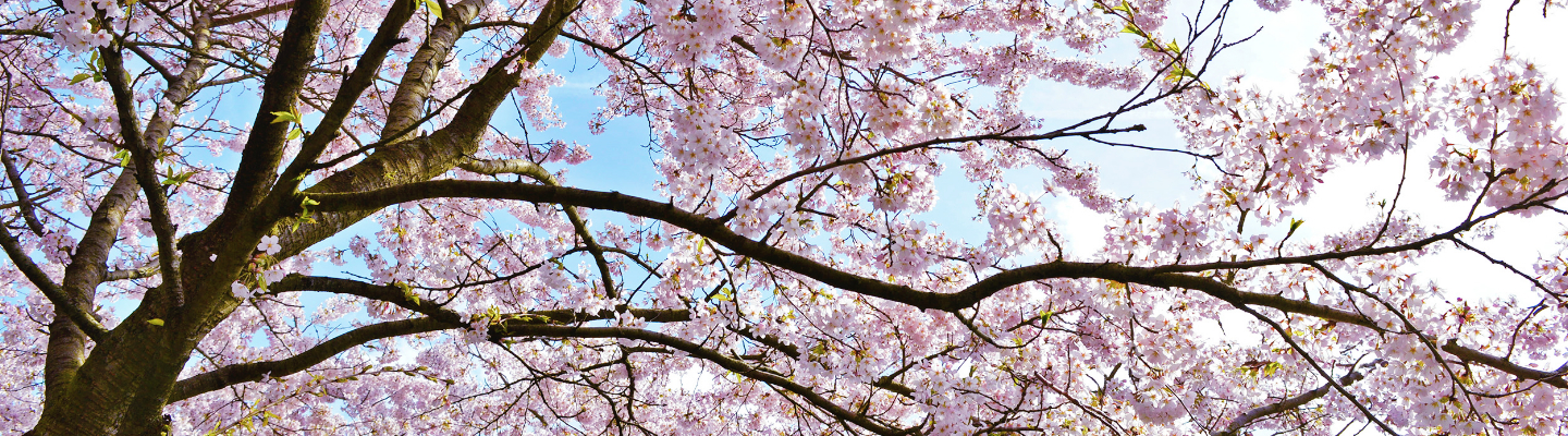 When Cherry Trees Blossom in Holland: A Sea of Pink Petals