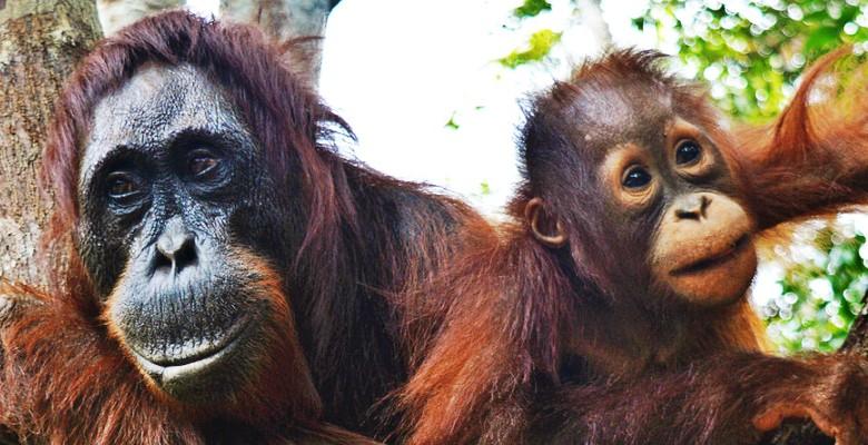 Expedition to Where the Wild Orangutans in Borneo Live