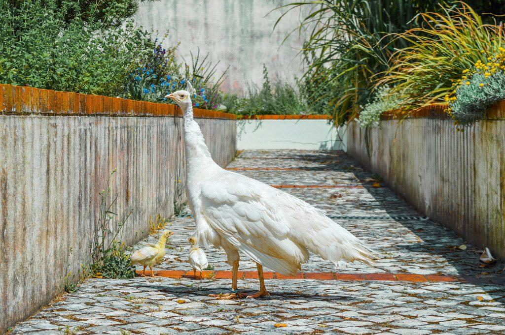A white peacock and her chicks at the Jardim Botânico d'Ajuda