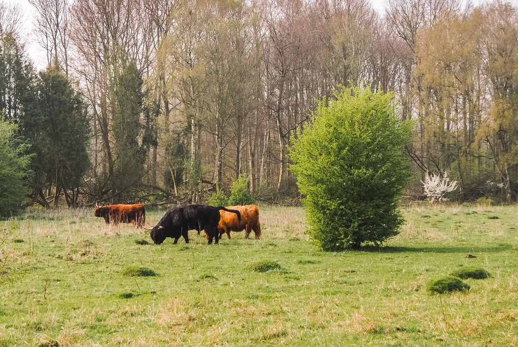 Cattle at the Amsterdamse Bos