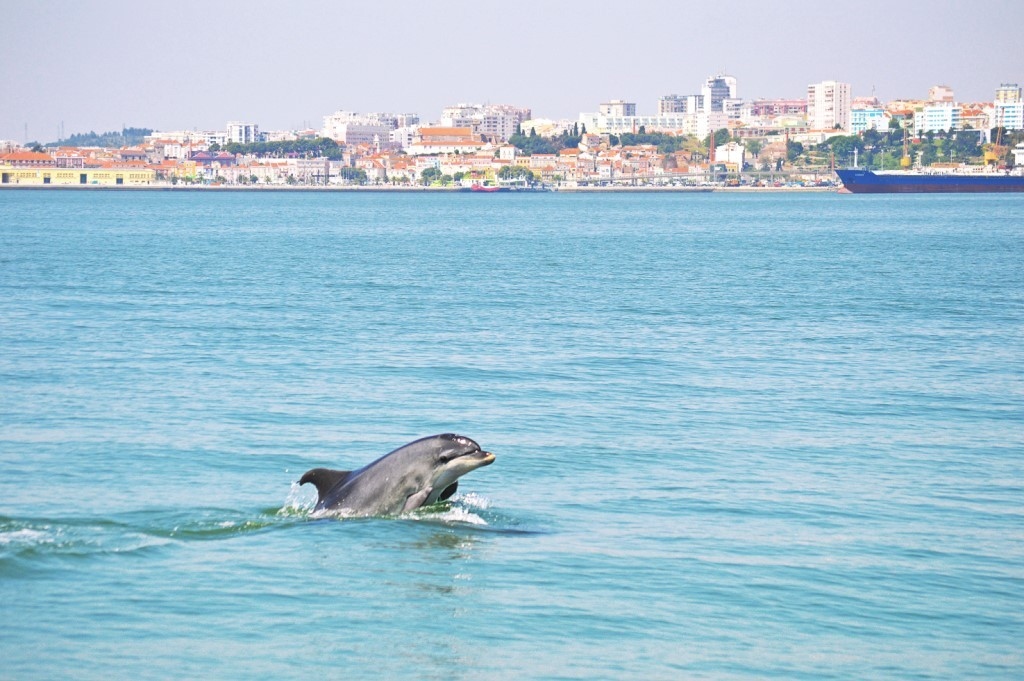 A dolphin in Setúbal, en route on a road trip in Portugal