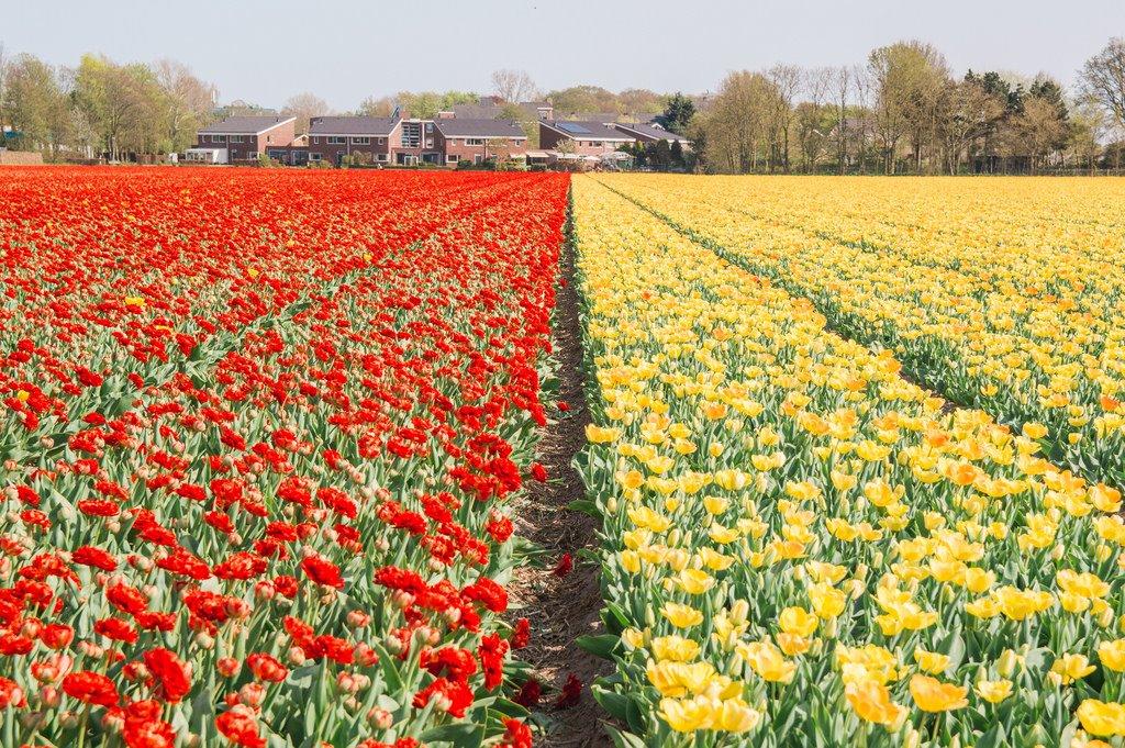 Tulip fields near Noordwijk and Voorhout