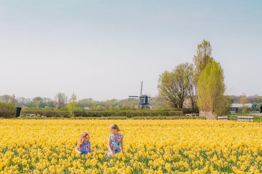 Yellow flower field in Holland