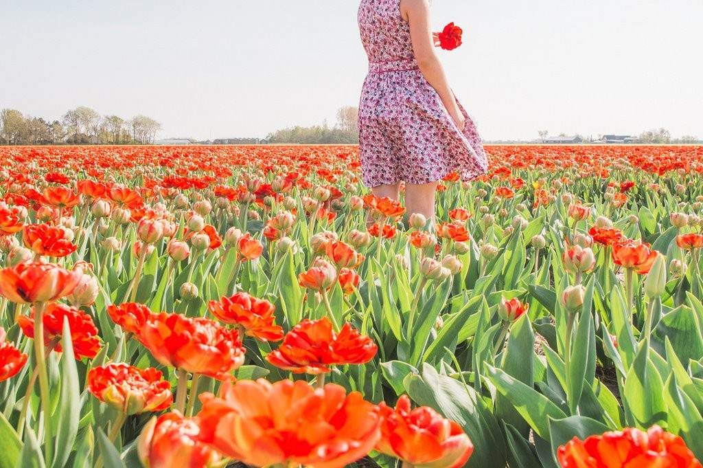 Red tulip fields in Holland, with a girl posing among the tulips.
