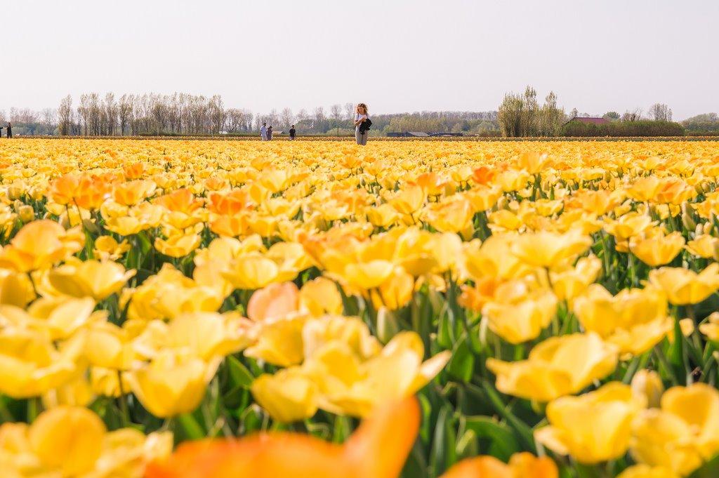 Tulip Season in Holland