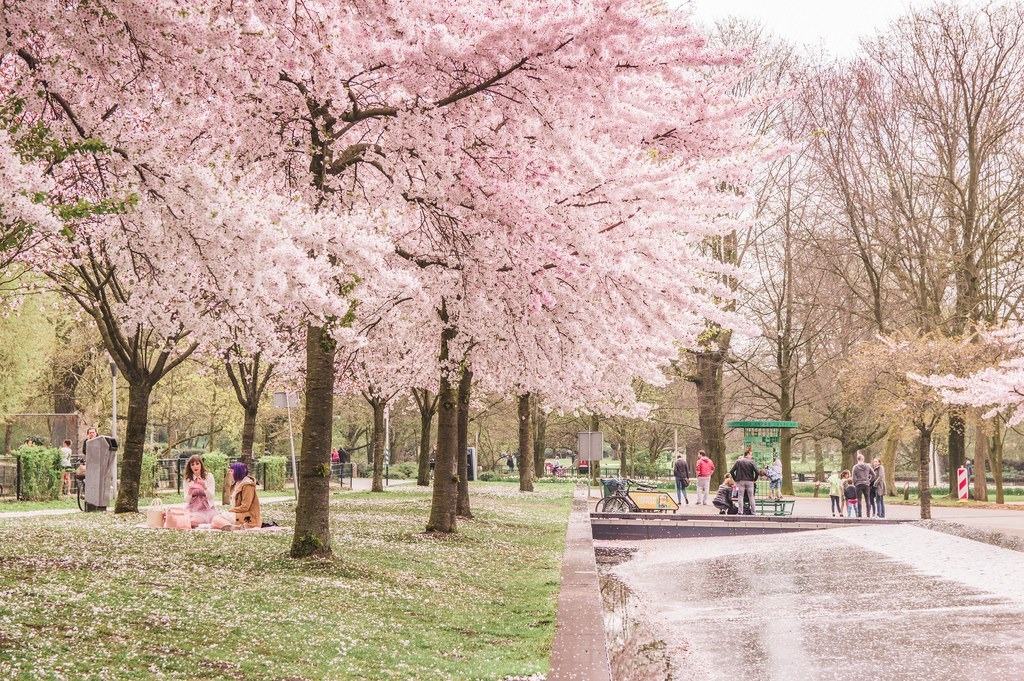 Pink blossoms in Westerpark, Amsterdam