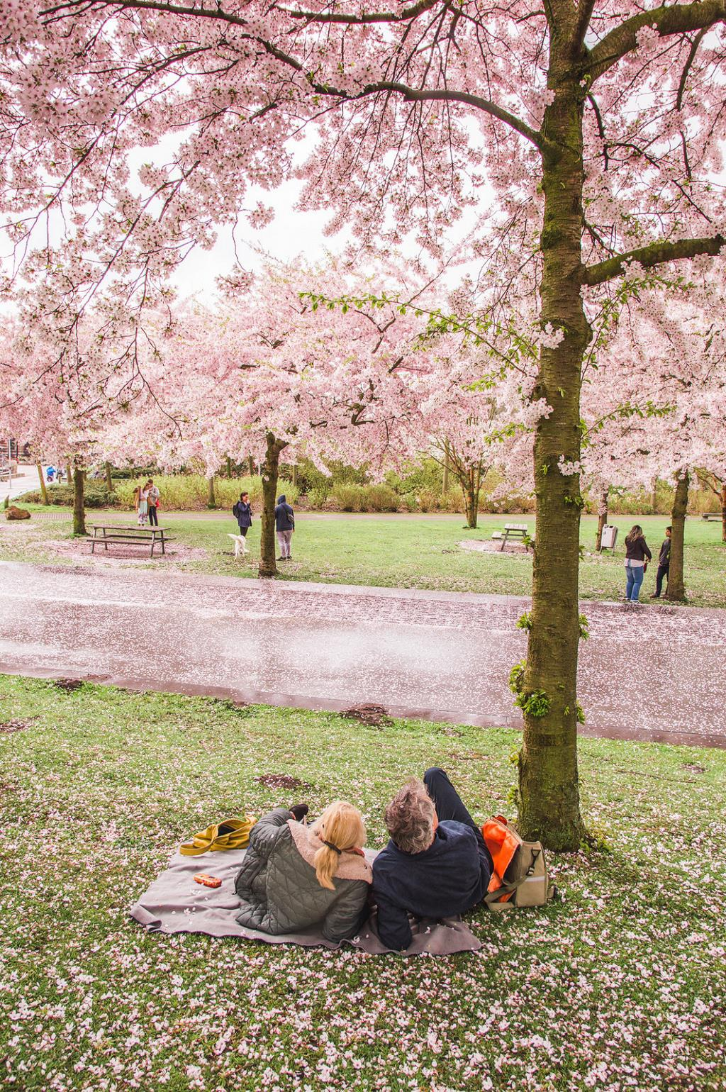 A couple relaxes on a blanket underneath the cherry blossoms