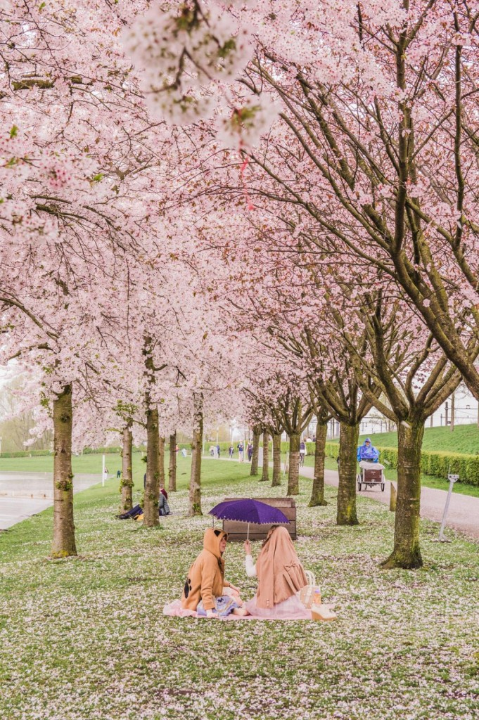 A picnic underneath the pink blossoms in Amsterdam