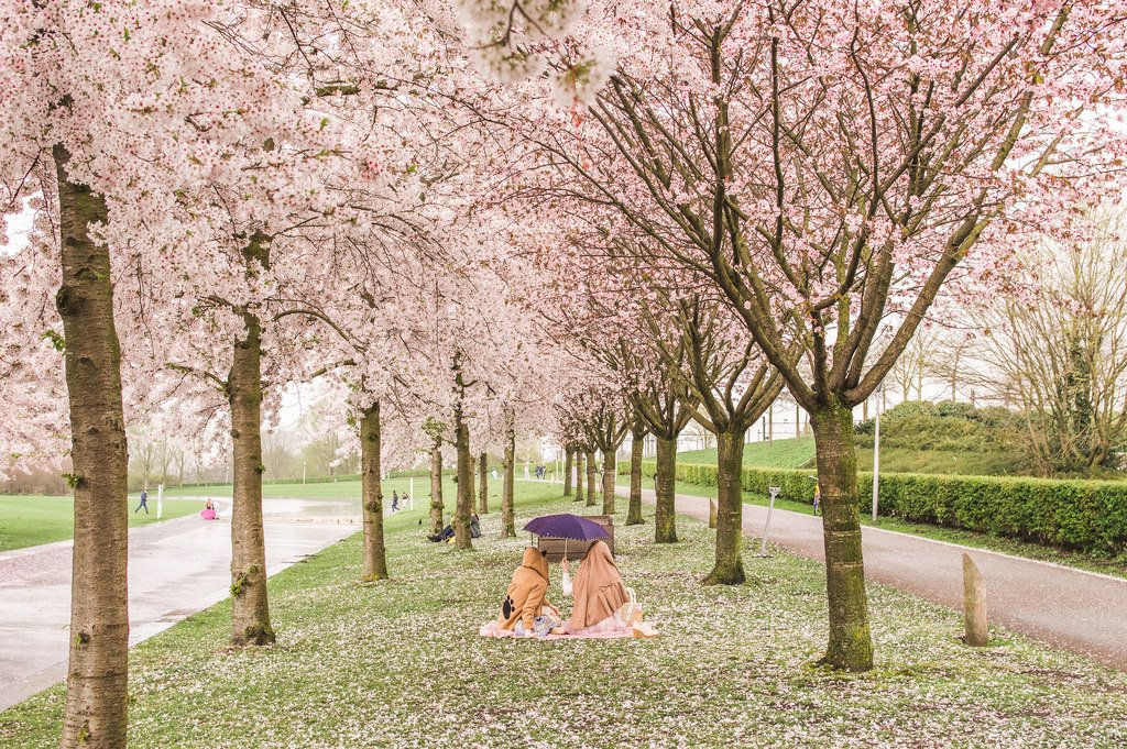 Two women shelter underneath an umbrella as they have a picnic by the cherry blossoms.