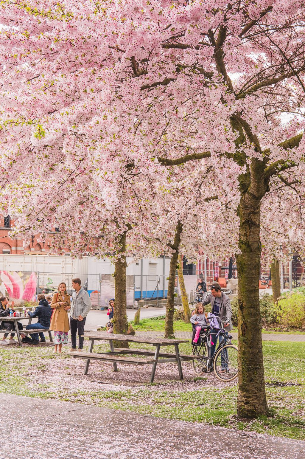 People gather underneath the blossoming cherry trees at Westerpark, Amsterdam