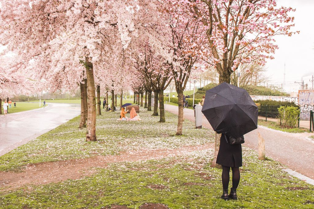 A woman with a black umbrella looks at the cherry blossoms in Amsterdam