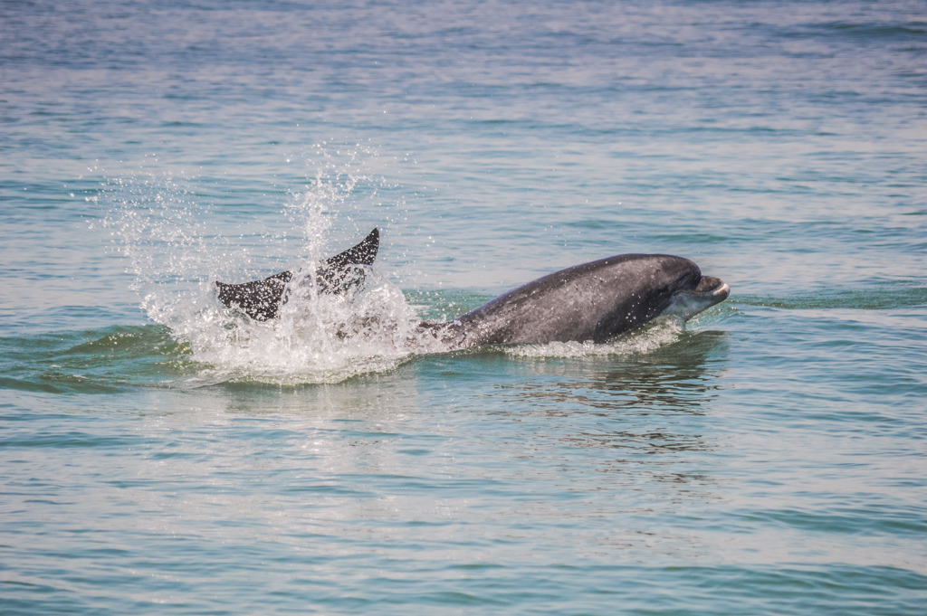 Dolphins in Setúbal, Portugal