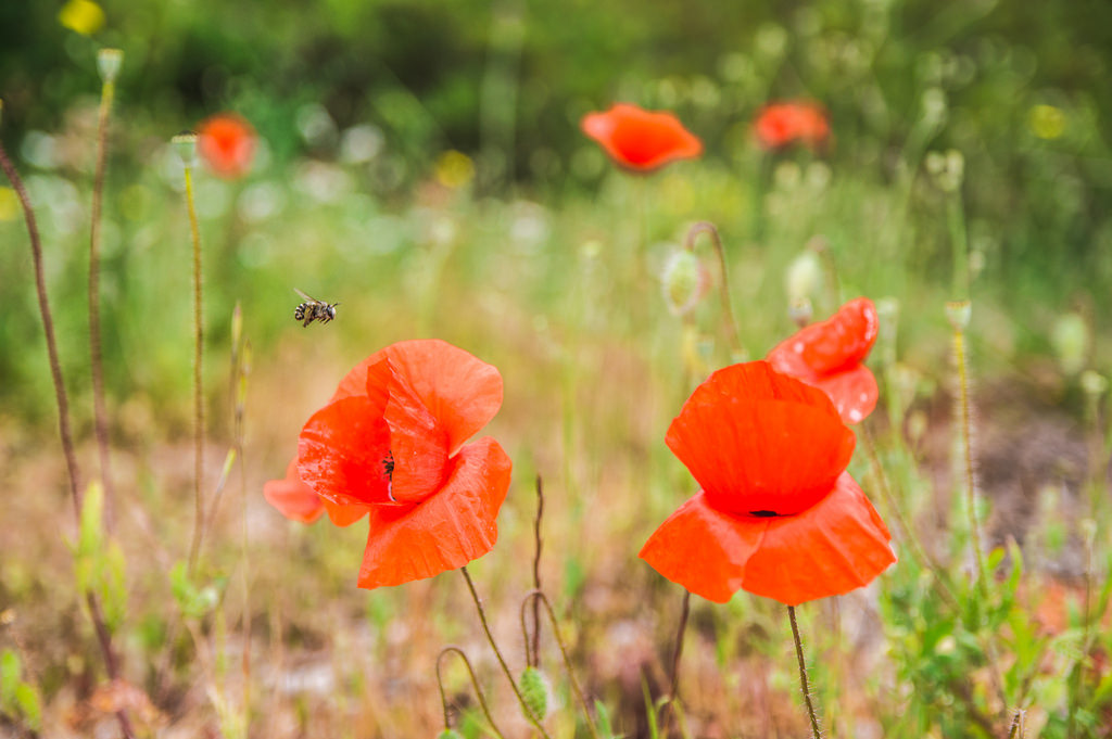 An insect flies around the poppy flowers on the Dalmatian Islands
