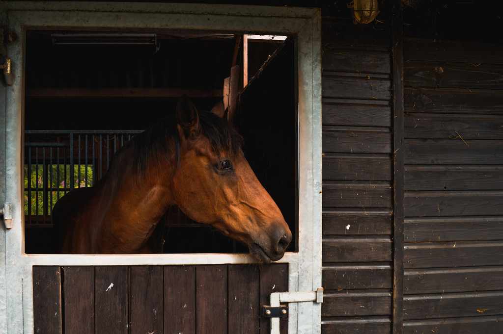 A chestnut-colored horse in a barn in Friesland.