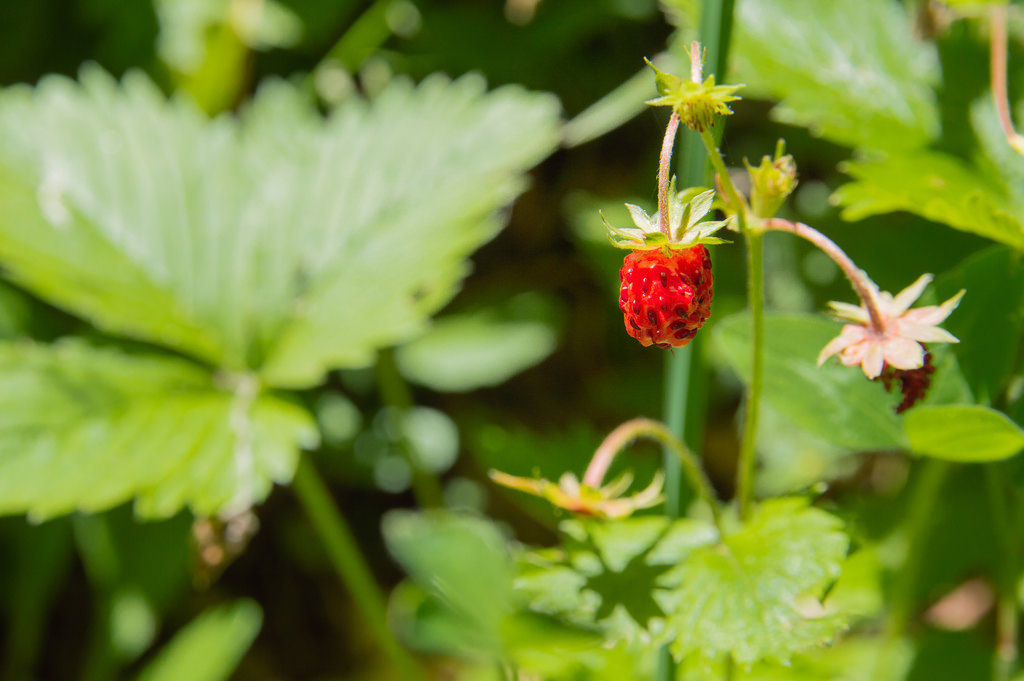 Wild strawberries on Monte Cucco, Umbria