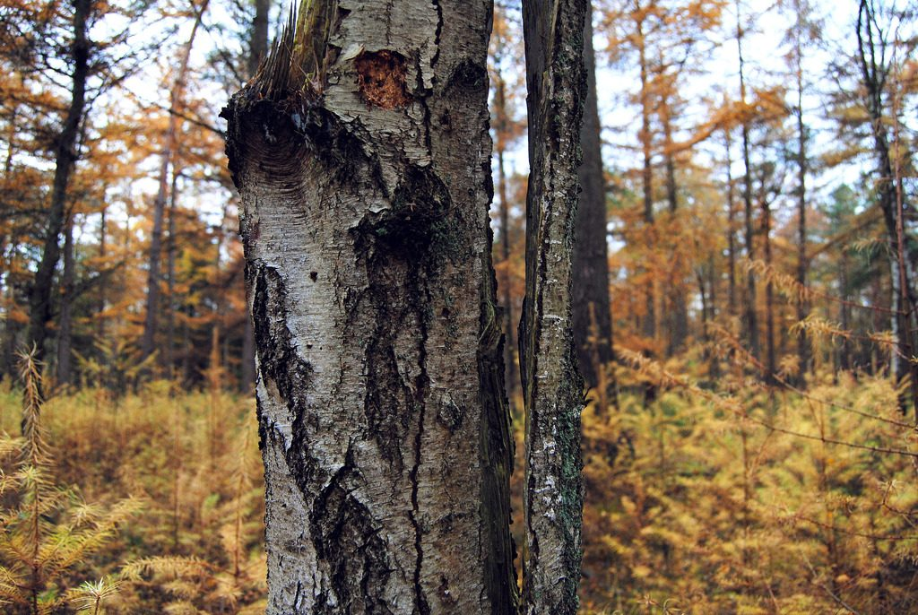 A dead tree, spit in the middle at the Utrechtse Heuvelrug National Park