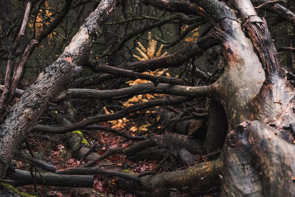 Fallen trees at the Utrechtse Heuvelrug