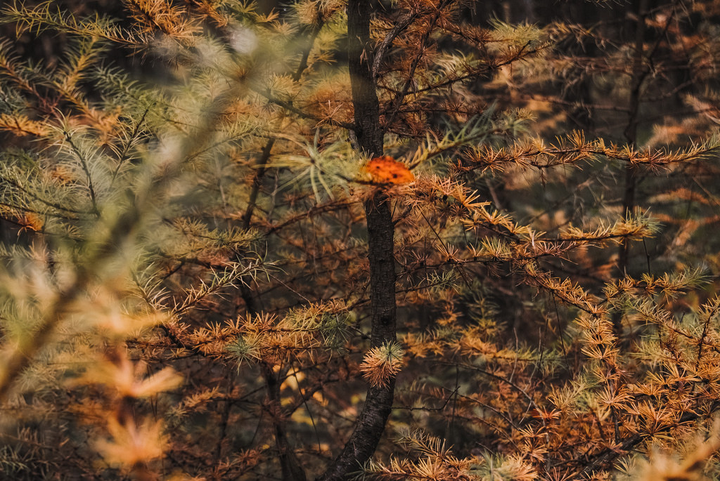 Orange pine tree in a forest