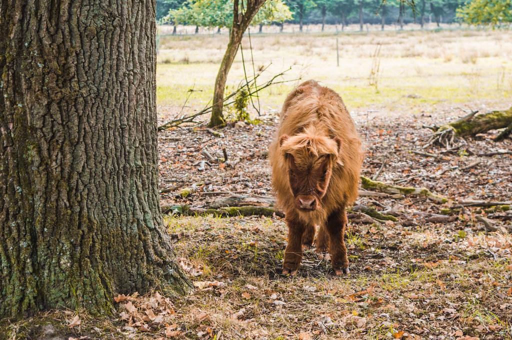 A Scottish Highlander calf at the Veluwzoom National Park
