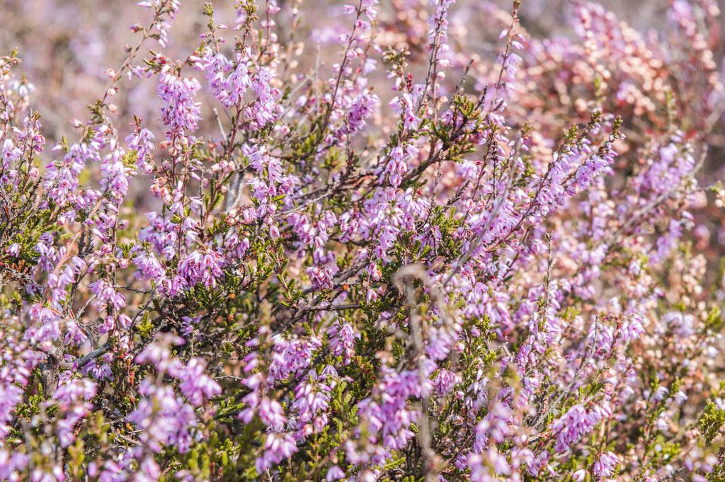 Purple heathland in the Netherlands