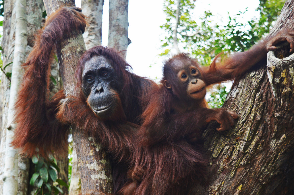 Expedition to Borneo: Where the Wild Orangutans Live