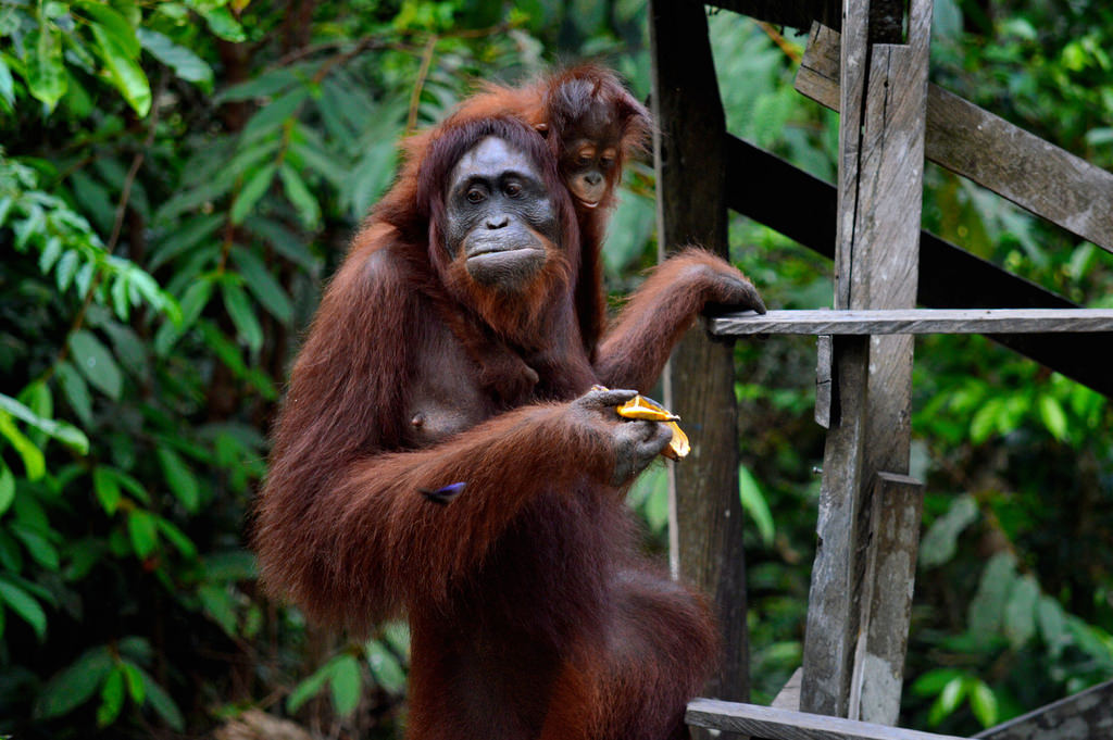 Orangutans in Borneo: mothr and child are eating fruit on a feeding deck.