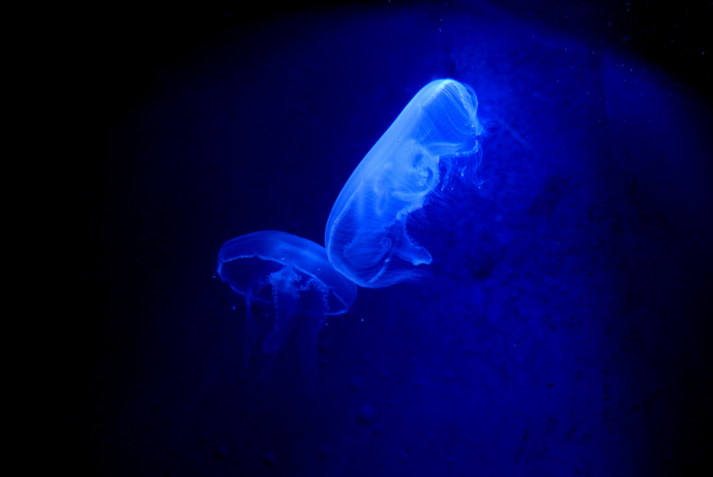 Two moon jellyfish swim in an aquarium in Rotterdam
