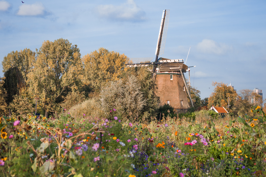 Blooming flowers in the Aemstel school garden, with a historic mill in the background.
