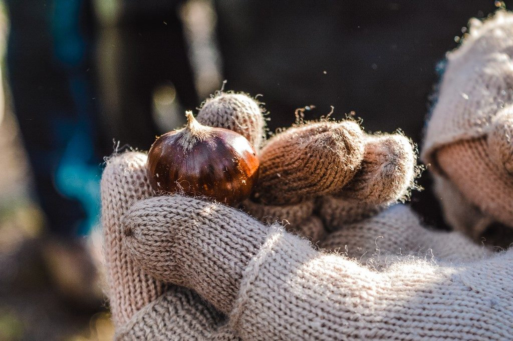 A chestnut, held in a person's hand.