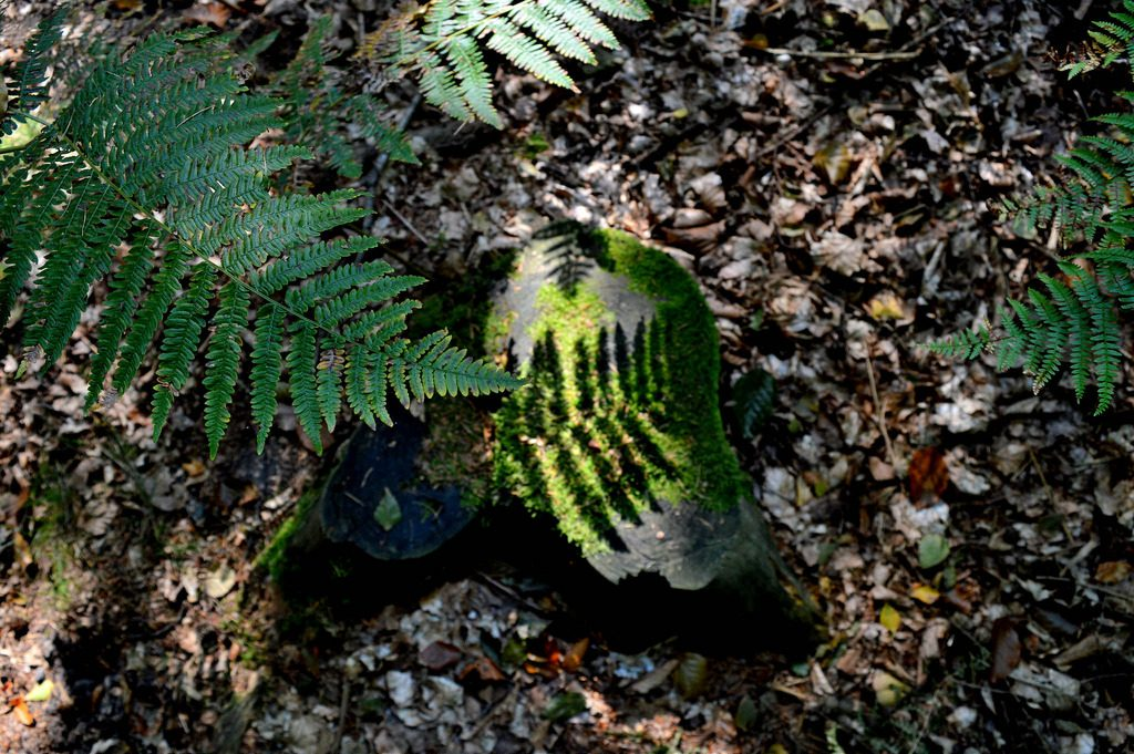 The shadow of a fern plant casts a pattern on tree stub.