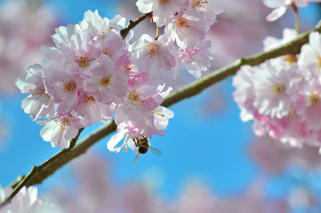 Tips for spending spring in the Netherlands: tip number two are the cherry blossoms
