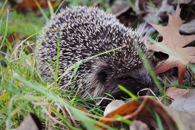 A hedgehog in a garden.