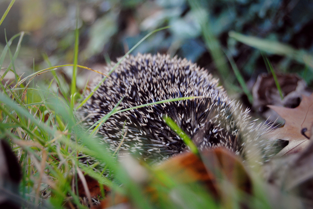 Facts about hedgehogs; a hedgehog hides in the grass