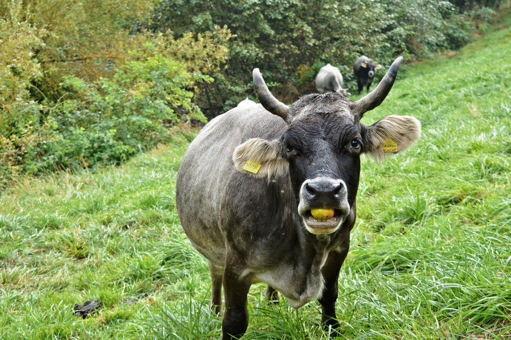 A cow eating an apple in South Tyrol