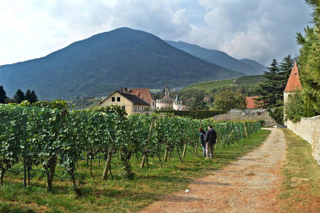 Vineyard in South Tyrol, Italy