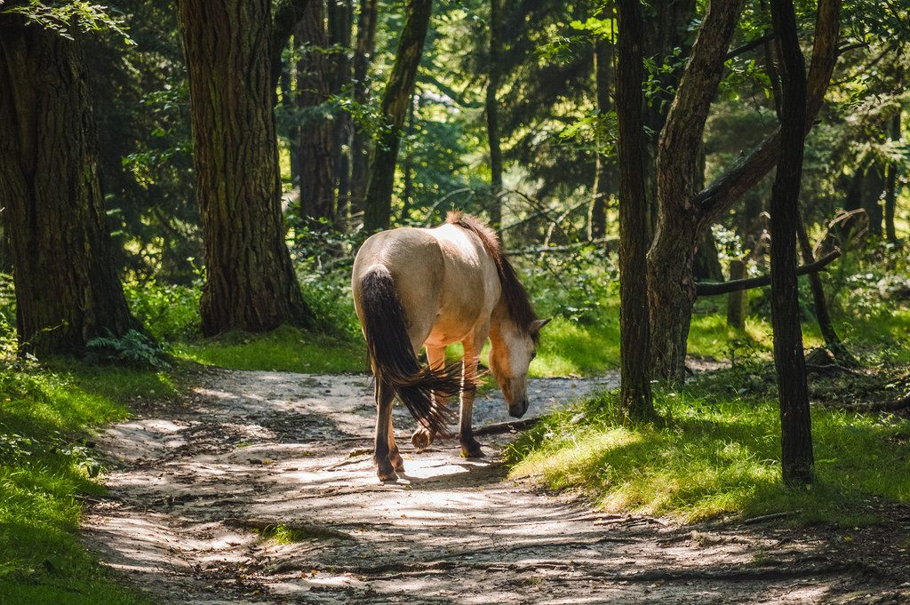 A wild horse in Veluwezoom, one of the best forests in the Netherlands for hikers