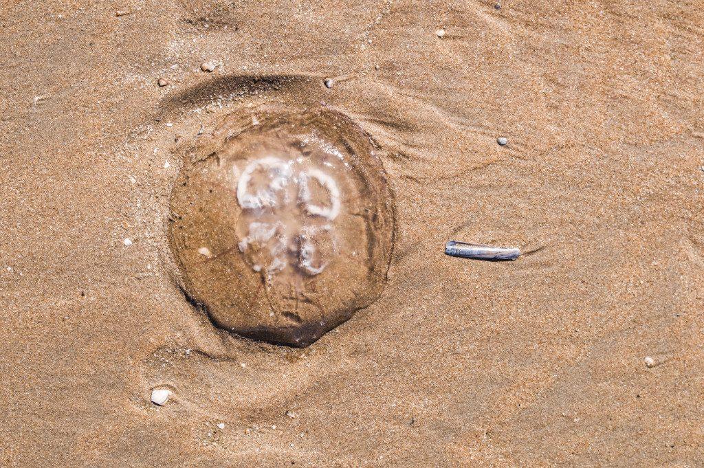 A jellyfish on the beach in Zandvoort