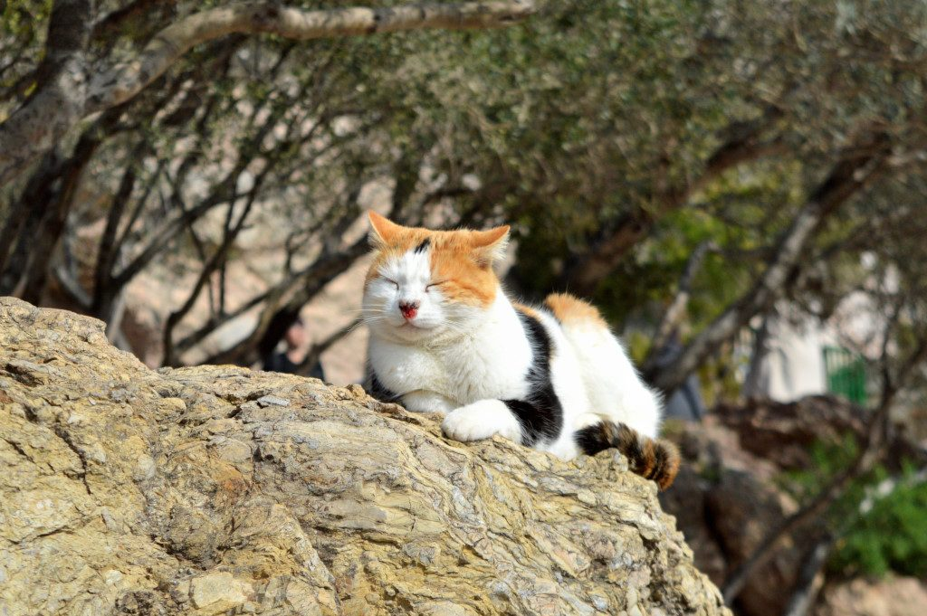 A ginger and white cat with black spots relaxes on a rock on Mount Lycabettus