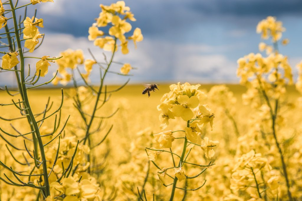 A pollinating bee flies from one rapeseed plant to another in the Moravian fields.