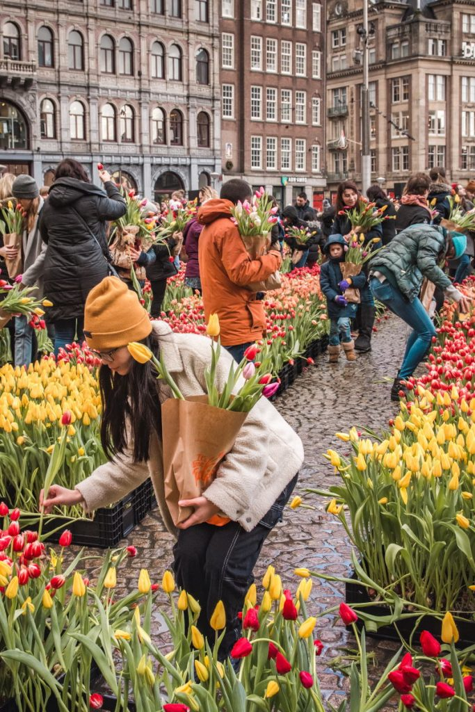 A girl with a yellow beanie picks a tulip from the temporary garden on Dam Square